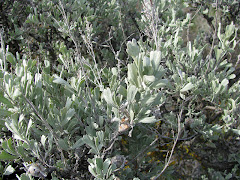 Artemisia tridentata (Big Sagebrush)