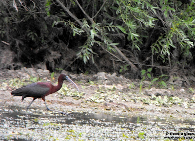 ibis roșu sau țigănuș
