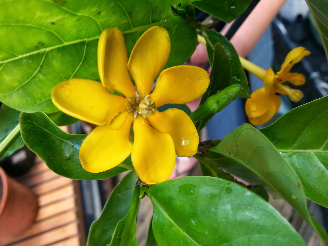 Gardenia jaunes ... 20130801_120027