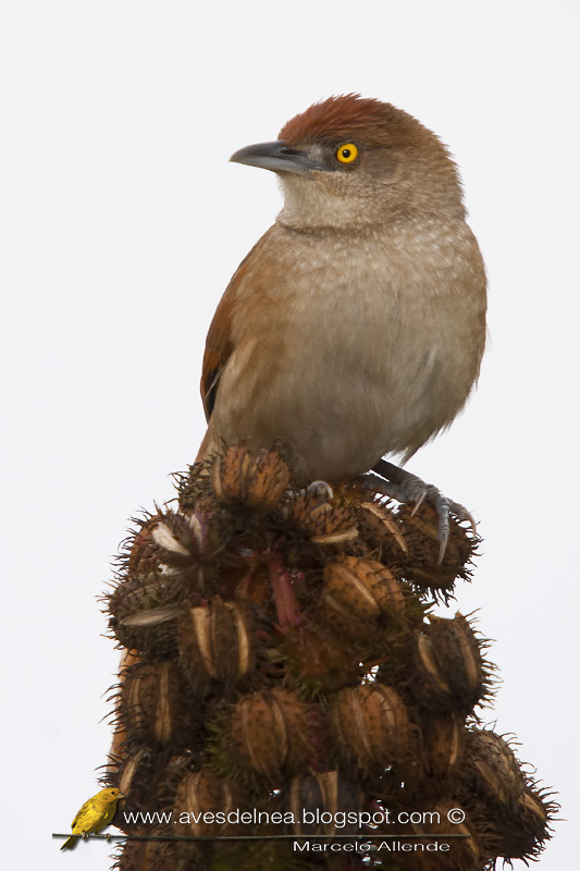 Espinero grande (Greater thornbird)