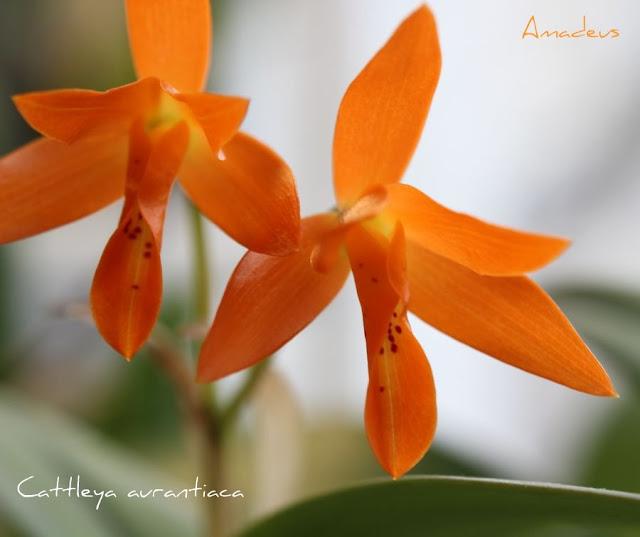 Cattleya aurantiaca  IMG_8946