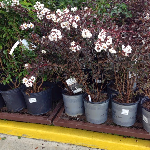 black diamond crepe myrtles