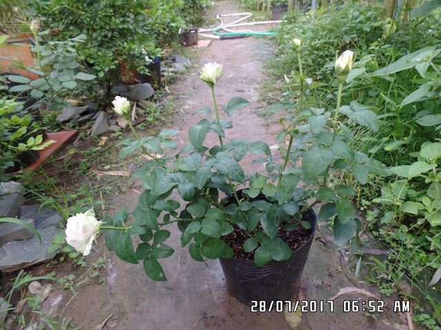 Chậu hồng cắt cành Miranda rose dạng cây giống đang trổ hoa