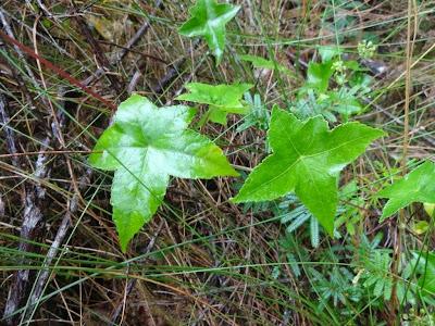 Hidrocotyle quinqueloba http://sites.google.com/site/florasbs/home  São Bento do Sul - Santa Catarina