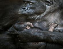 غوريلا تنافس الأمهات في الحنان