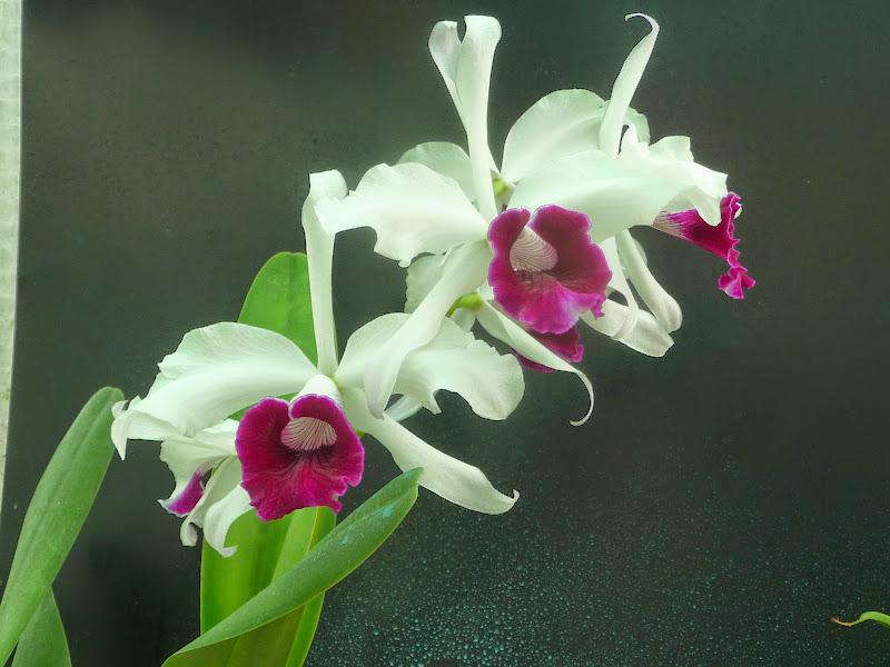 Cattleya (Laelia) purpurata P1190361