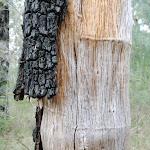 Tree on Pisgah Rock track (143646)