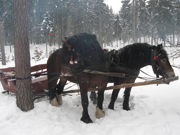konie, które ciągnęły nasze sanie
