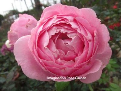 Hình dáng 1 bông hoa hồng Miyako, các cánh hoa hồng cuộn tròn vào tâm, form hoa khá giống với hồng leo Cẩm My (Lady Of Shalott)