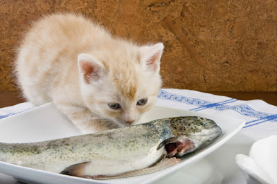 Six weeks old kitten smelling his first fish