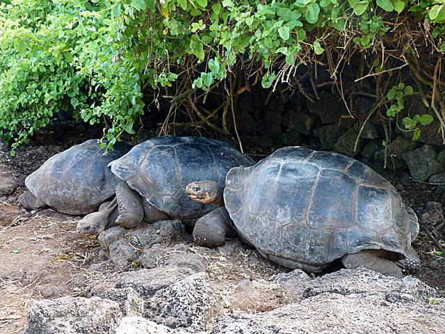 Giant tortoises at Charles Darwin Research Station