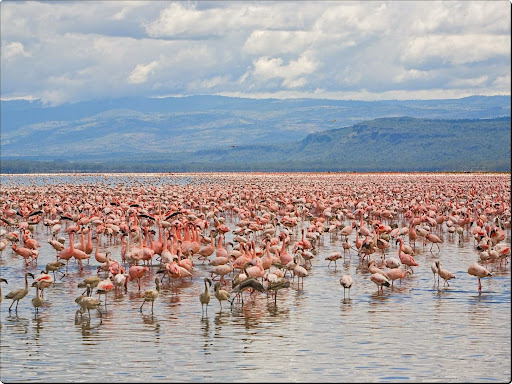 Flamingos, Lake Nakuru National Park, Kenya.jpg