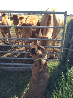 Isla of Axholme blog bunny 2014 photo of fizz and cows