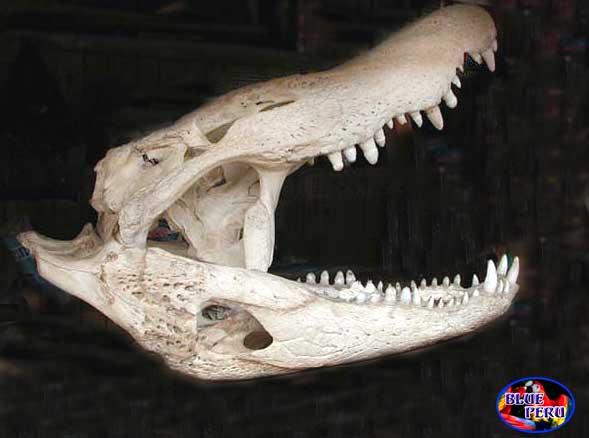 Questões e Fatos sobre Crocodilianos gigantes: Transferência de debate da comunidade Conflitos Selvagens.  - Página 3 Caiman-skull-w