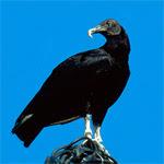 Zopilote negro / Foto: Luis Fidel Sarmiento (Elche, Alicante, 1999)