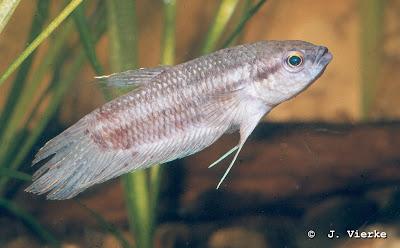 Maulbrütender Kampffisch