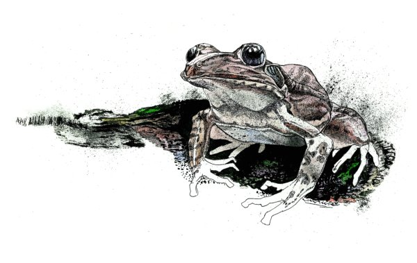 Barking Frog - Illustration by Jack Unruh