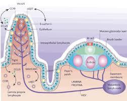 intestinal immune system