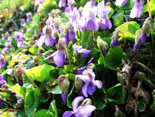 Fiołek pachnący rozwijające się kwiaty Viola odorata