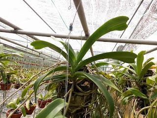 Hoa lan Ngọc Điểm - Nghinh Xuân - Đai Châu rừng trồng thuần tại vườn - 15