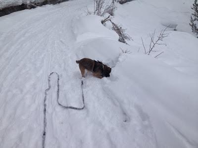 Border Terrier Charly buddelt nach Fichten-Zapfen