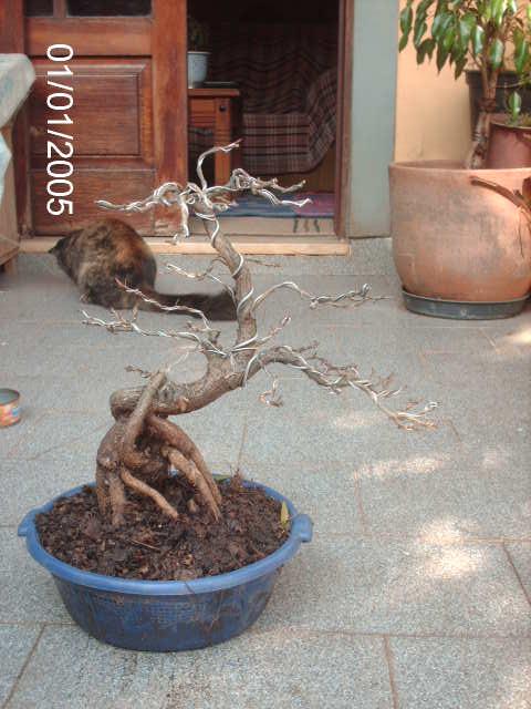 Ficus Nerifolia, Uma raiz de 3 anos... PICT0980