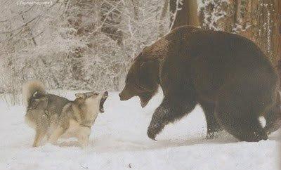 Urso pardo vs Urso polar - Página 2 4578
