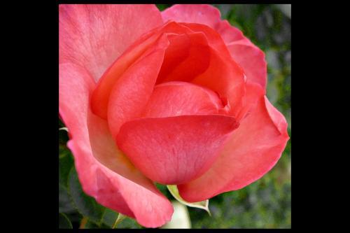 rosa small 2_1