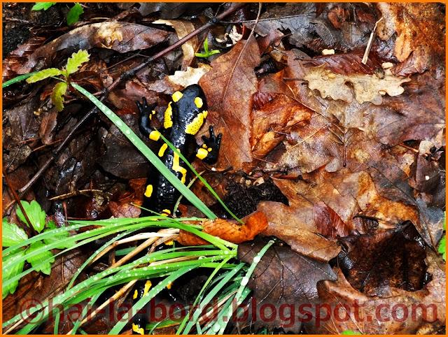 salamandra iesind dintre frunze baile herculane
