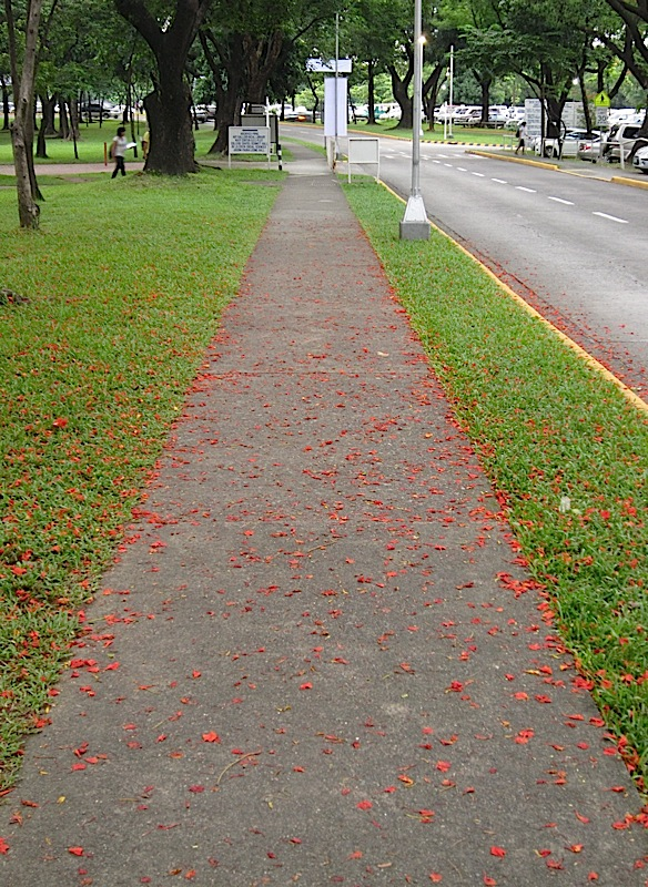 sidewalk covered in flame tree blossoms