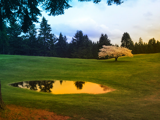 Looking over the green at the Fircrest Golf Club at a tree in bloom in late March 2014.