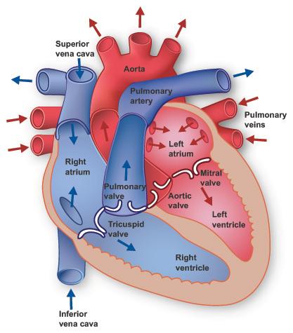 drjitendrapanthi: GENERAL STRUCTURE OF HEART