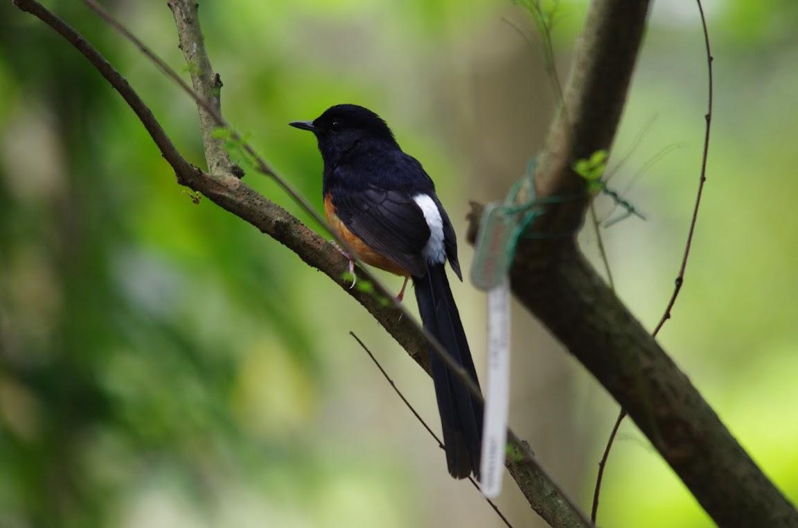 台北植物園 - 領角鴞