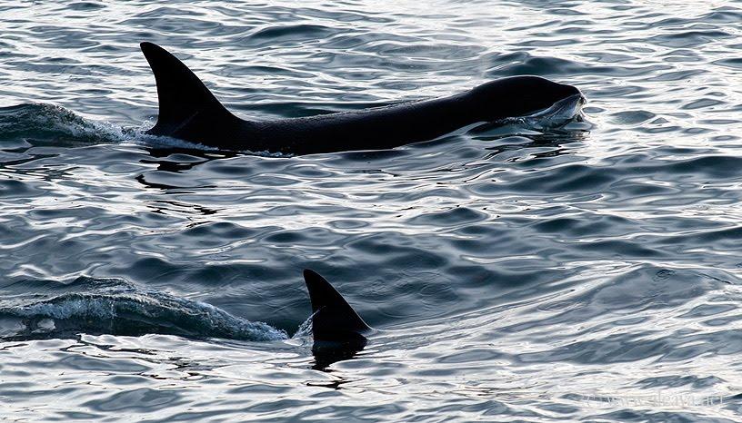 Show de ataques de Orcas en Punta Norte