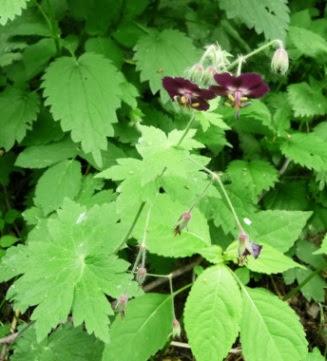Bodziszek żałobny Geranium phaeum