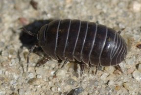 Common Pillbug