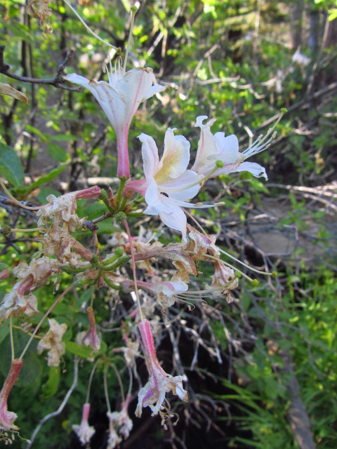 azaleas by Sunrise Creek