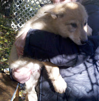 Zennia is a Fe male Light Tri-Color Timber Wolf For Sale. CKC