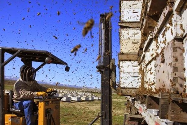 Кочёвка пчёл