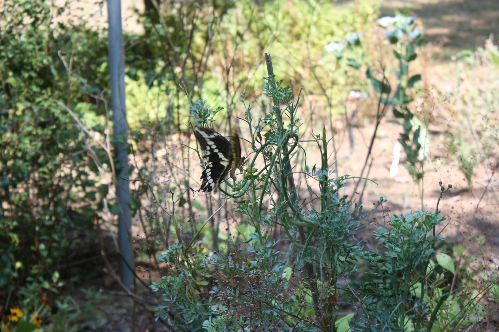 Mariposa gigante de Swallowtail y polillas del minero de la hoja de la fruta cítrica