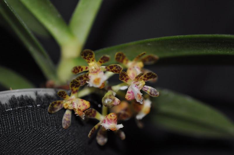 Gastrochilus calceolaris DSC_0024