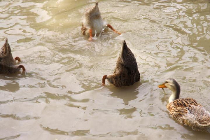 写真:合鴨