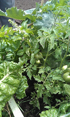 The tomatoes are busy fruiting at Nquabela primary and pruning was demonstrated