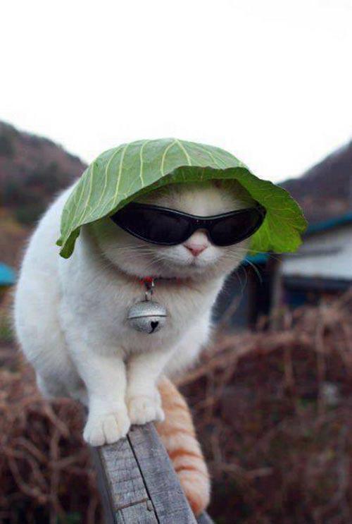 Ảnh chế mèo mang kính đen
