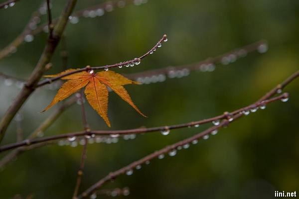 ảnh những giọt nước đọng trên cành lá sau cơn mưa mùa thu