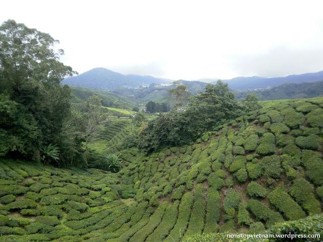Tea garden / Teakert