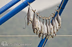 Catch of the day drying