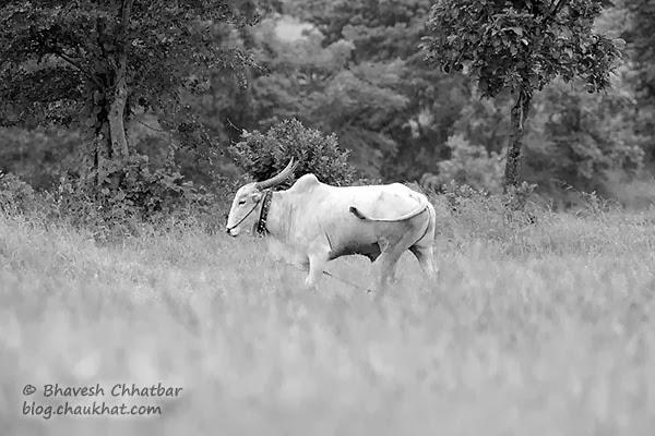 Rural India - A Bull