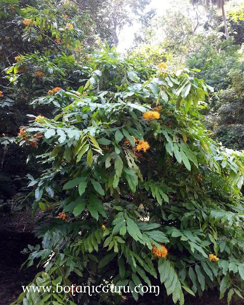 Saraca thaipingensis, Yellow Saraca tree