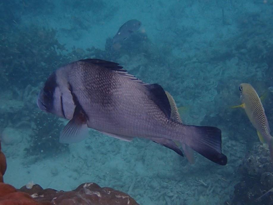 Plectorhinchus gibbosus (Rubberlip Sweetlips), Miniloc Island Resort reef, Palawan, Philippines.